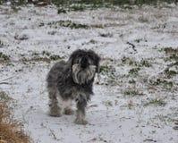 Crabots jouant dans la neige Images libres de droits