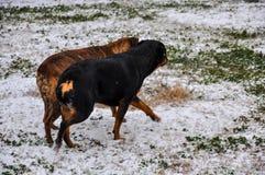 Crabots jouant dans la neige Images stock