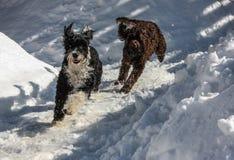 Crabots jouant dans la neige Photo stock