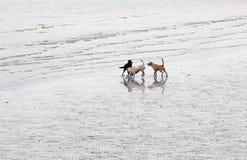 Crabots jouant sur la plage. Tai O. Hong Kong. Photographie stock libre de droits