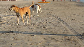 Crabots marchant sur la plage banque de vidéos