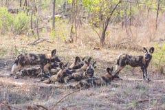 Crabots sauvages africains Photos libres de droits