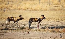 Crabots sauvages africains de pictus de Lycaon Image stock