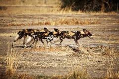 Crabots sauvages africains de pictus de Lycaon Photographie stock