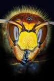 Crabro della vespa Immagini Stock Libere da Diritti