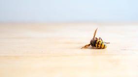 Crabro europeo muerto del Vespa del avispón Fotografía de archivo
