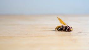 Crabro europeo muerto del Vespa del avispón Fotografía de archivo libre de regalías