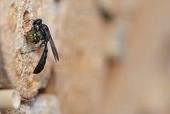 Crabronidae osy Trypoxylon odludny figulus obrazy stock
