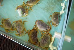 Crabs. Live crabs in an aquarium Stock Images
