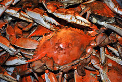 Crabs. Bushels and Bushels of Hard shelled crabs royalty free stock photo
