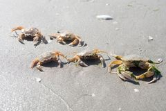 Crabs on beach Stock Photo