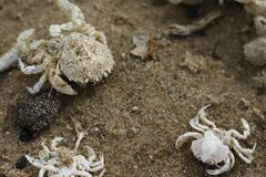 Crabs on the beach Royalty Free Stock Photography