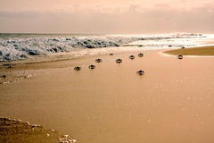 Crabs on the beach Royalty Free Stock Photo