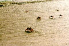 Crabs on the beach Royalty Free Stock Photos