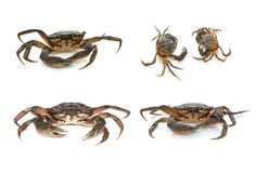 Crabs. Black sea crustaceans isolated on white background stock photos