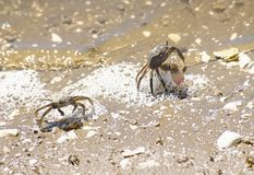 Crabs defending themseves on the lagoon. Crabs defending themseves on the lake royalty free stock photography