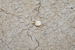 Crabs die because of drought Royalty Free Stock Images