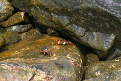 Crabs facing each other on wet rock Royalty Free Stock Photos