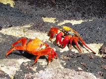 Crabs fight, Galapagos. Red-Rock-Crabs fighting at Galapagos islands, Ecuador Stock Photography