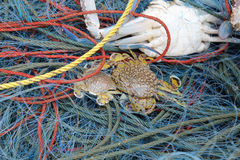 Crabs in fisherman net Royalty Free Stock Image