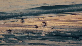 Crabs. Ghost crabs on tropical beach right after sunset stock footage