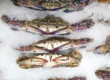 Crabs in ice in supermarket. Cold sea food small raw fresh colourful crabs laying on ice on clean and good arrange display sale counter in a super market in Royalty Free Stock Photo