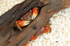 Crabs inhabiting the dry wood Royalty Free Stock Images