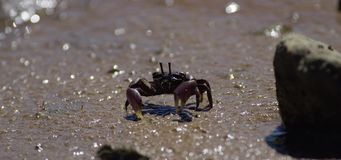 Crabs on mad flats stock video