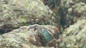 Crabs on the rock at the beach stock footage