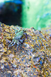 Crabs on a rock. Crabs have a sunbath on a rock near the sea. royalty free stock photos