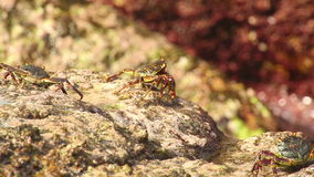 Crabs on the rock stock video footage