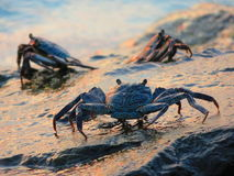 Crabs on the rocks. Foreground of some crabs on the rocks, during the sunset stock image