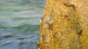 Crabs and rockskippers on the rock at the beach stock video footage