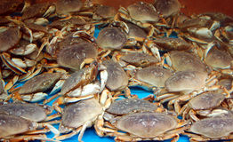 Crabs for Sale. Blue crabs for sale in a seafood market tank royalty free stock photo