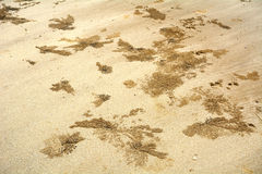 Crabs in the sand, Borneo, Malaysia Royalty Free Stock Image