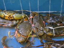 Crabs at a seafood market. Alive crabs lay inside container at a seafood market in Serpong, Indonesia Royalty Free Stock Photography