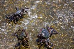 Crabs on seashore. Group of three crabs fighting on the seashore stock photo