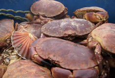 Crabs and shellfish in a tub Royalty Free Stock Photos