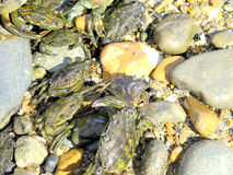Crabs on the shore. Stock Photography
