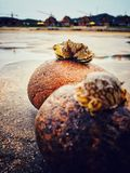 Crabs look each. Two crabs on the other side of  the stones look each others Royalty Free Stock Photo