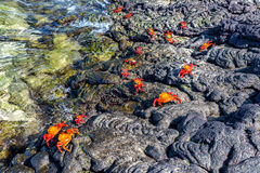 Crabs on Volcanic Rock Royalty Free Stock Photo