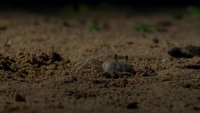 Crabs wait for the young hawksbill turtle hatchlings to come to them. Britain. Wildlife concept stock photos