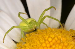 Crabspider (Ebrechtella tricuspidata). On flower Stock Photo