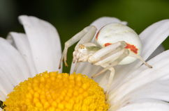 Crabspider (Misumena vatia). On flower Stock Photography