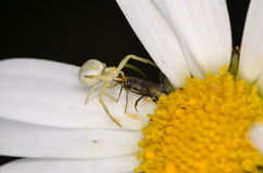 Crabspider (Misumena vatia). On flower Stock Images