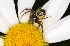 Crabspider (Synema globosum). On flower Stock Photos
