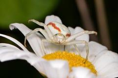 Crabspider (vatia Misumena) Стоковые Фото