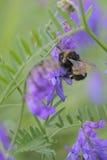 Cracca de la Vicia del abejorro y de la arveja copetuda Imagen de archivo libre de regalías