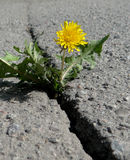 Crack on the asphalt. Blooming dandelion on a crack in the asphalt Royalty Free Stock Photos