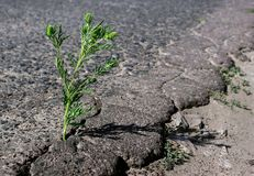 A crack in the asphalt. Grass common ragweed growing in a crack on the road. plant allergen. A crack in the asphalt. Grass common ragweed growing in a crack on royalty free stock photography